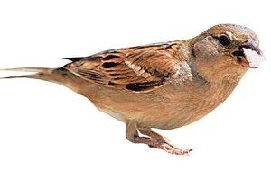 sakız kuşları öldürür